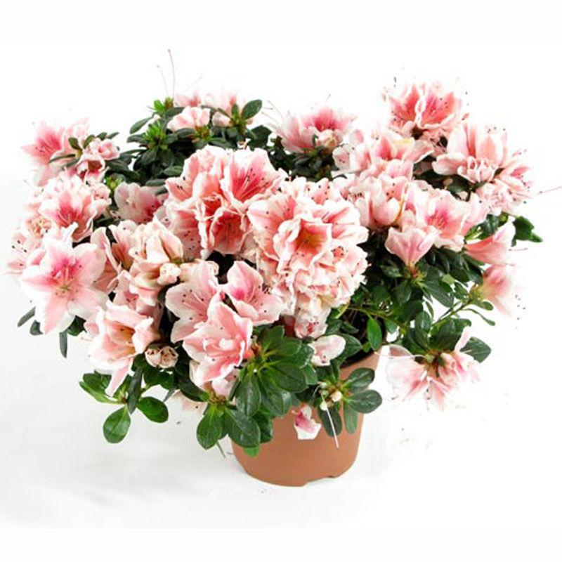 Цветы в томске с доставкой на дом азалия, роскошных букетов