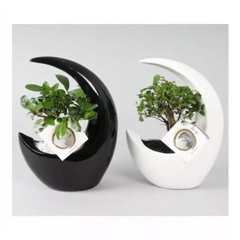 Бонсай Микс в керамике в форме луны