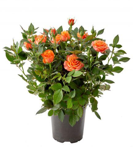 Роза кордана гранд Фаербёрд