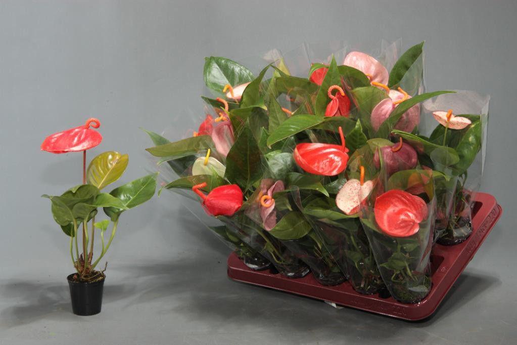 Купить цветы домашние в интернет магазине, белых оранжевых роз