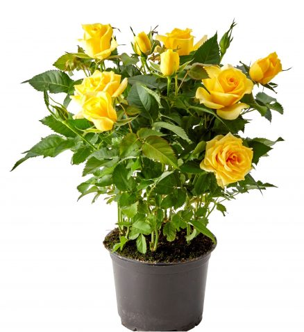 Роза кордана гранд Санстар