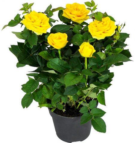 Роза Патио желтая