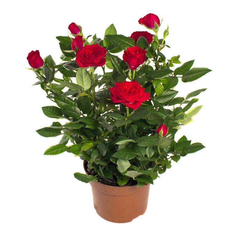 Живена интернет магазин растений розы