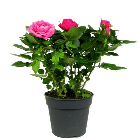 Роза Патио малиновая Эсмеральда