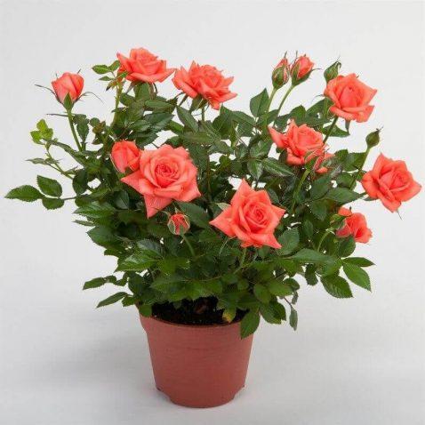 Роза Патио оранжевая