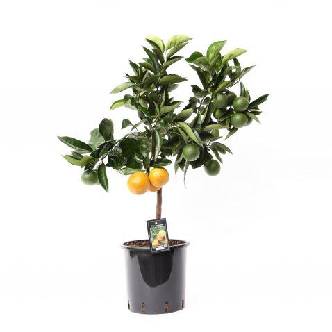 Цитрофортунелла Апельсин штамбовая
